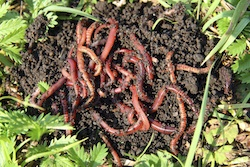 composting - worms.jpg